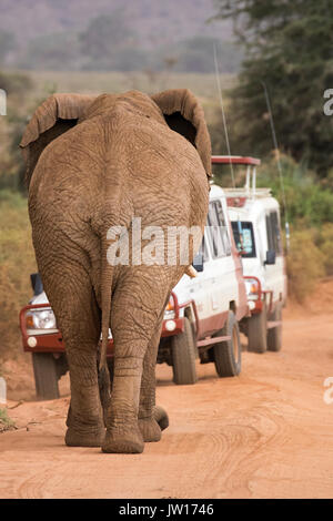 Male African Elephant walking on the driveway towards the cars, pushing them to go backward - Stock Image