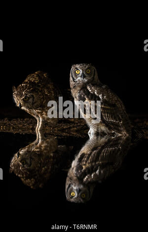Spotted eagle owls (Bubo africanus), parent (right) and subadult at night, Zimanga private game reserve, KwaZulu-Natal, South Africa, September 2018 - Stock Image