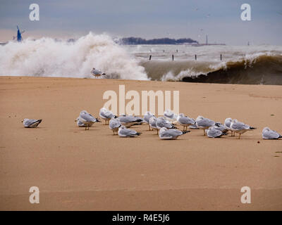 Chicago, Illinois, USA. 26th November 2018. A flock of ring-billed gulls hunkers down on North Avenue Beach during today's winter storm as Lake Michigan waves crash ashore. Waves approached twenty feet at the height of the storm. Credit: Todd Bannor/Alamy Live News - Stock Image