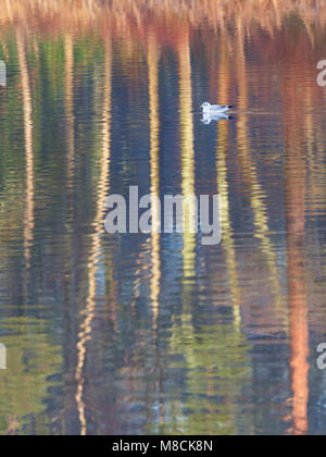 Black-headed gull on pattern of reflections on lake - Stock Image