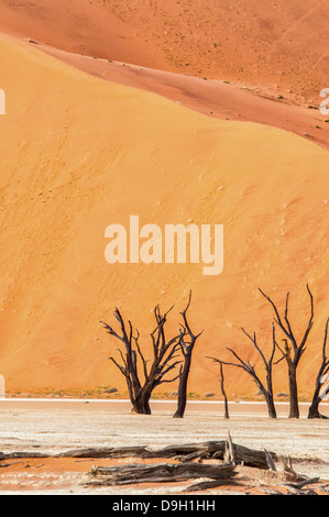 Dead Camelthorn Trees, Acacia erioloba, in the salt pan of Dead Vlei, Namib Naukluft Desert, Sossusvlei, Namibia, - Stock Image