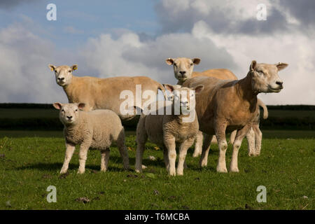 herd of beltex sheep posed in field, Carmarthenshire, South Wales - Stock Image