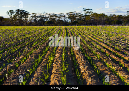 Crop, WA Hinterland - Stock Image