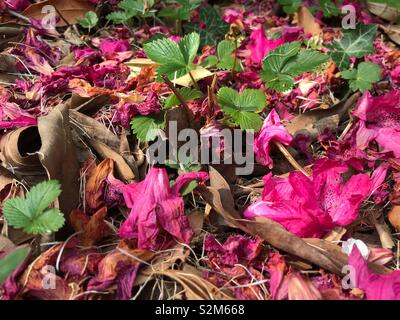 Pink flowers fallen on to woodland floor, interspersed with twigs, plants and leaves. - Stock Image