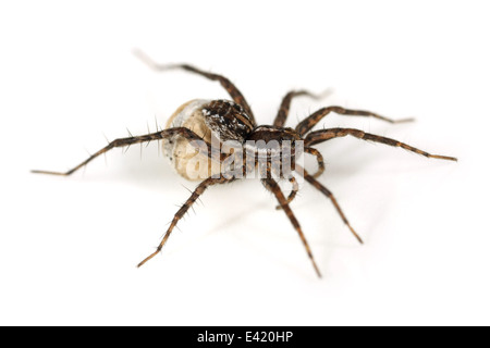 Female Pin-stripe wolf-spider (Pardosa monticola), part of the family Lycosidae - Wolf spiders.Carrying an egg sac - Stock Image