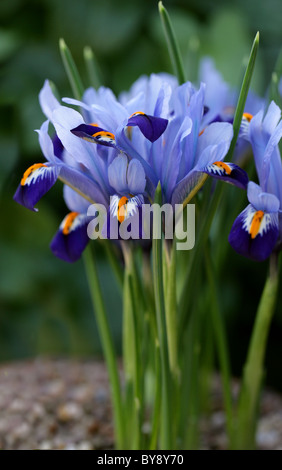 Reticulated Iris, Iris reticulata, Iridaceae, Caucasus and West Asia - Stock Image