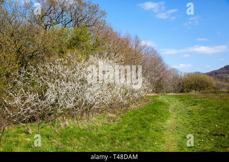 Blackthorn  Prunus spinosa thicket growing in a hedgerow in the English Countryside near Congleton Cheshire England UK - Stock Image