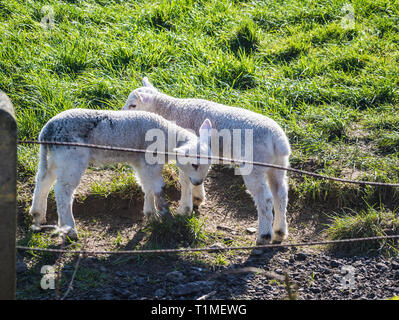 Newborn Spring Lambs and sheep in a field in Groomsport, Bangor, County Down, Northern Ireland - Stock Image