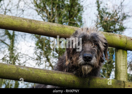 Irish Wolfhound dog with head looking through a wooden fence.  Wales, UK, Britain - Stock Image