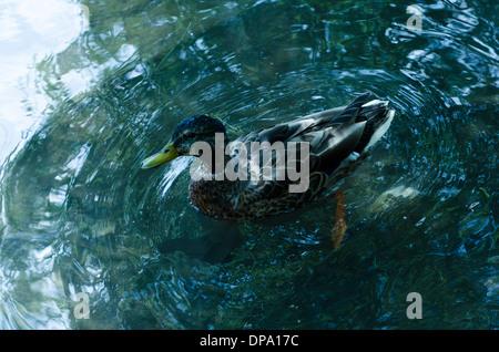 A mallard duck paddling in water looking at camera - Stock Image