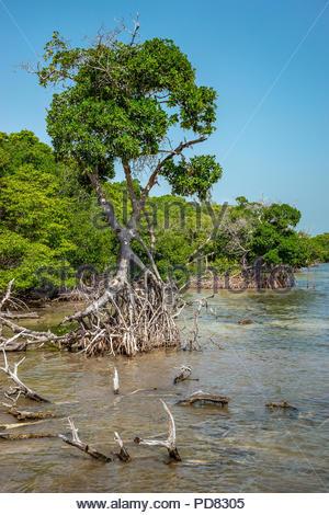 Mangrove - Stock Image