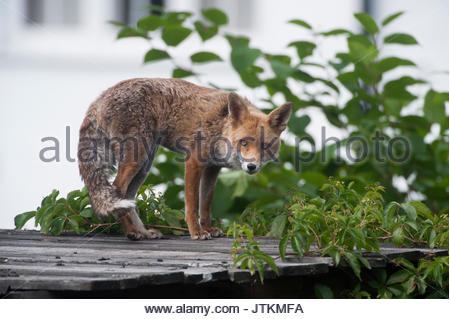 male Red Fox, (Vulpes vulpes), standing on a garden shed roof, London, United Kingdom - Stock Image