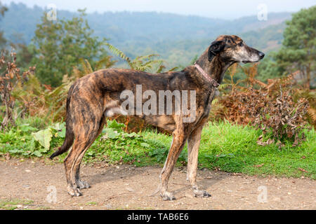 Lurcher dog, Full profile, Elderly adult standing on path,  Devils Punchbowl, Surrey, England - Stock Image