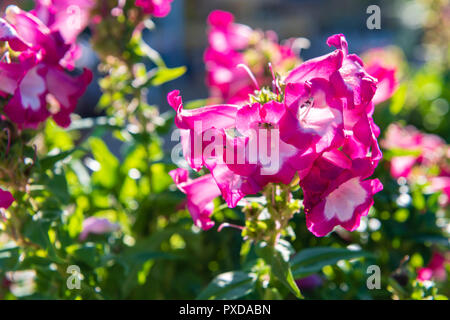 Penstemon 'Pentastic pink' garden plant, UK. - Stock Image