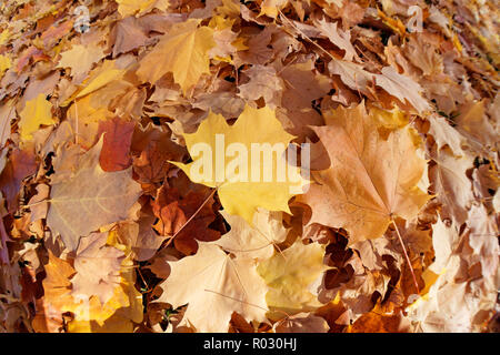 Close-up of fallen yellow, brown, and orange maple leaves in a swirl pattern on the ground, Vancouver, BC, Canada - Stock Image