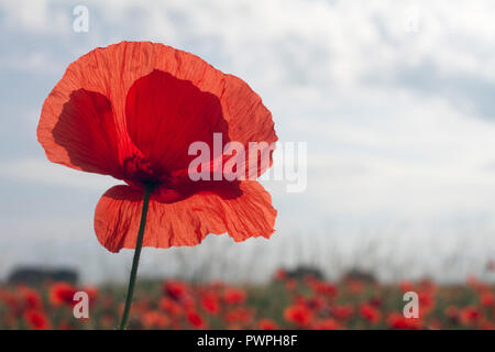 France, close up of a poppy flower, spring. - Stock Image