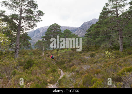 Scots Pines - Pinus sylvestris - hiker walking through remnants of the ancient Caledonian Forest - Beinn Eighe, Scottish Highlands, UK - Stock Image