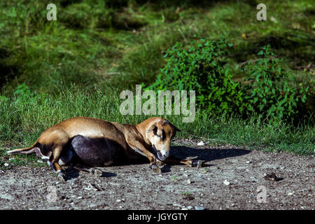 Lying pregnant, brown cameroon sheep (Ovis Aries) on the ground. - Stock Image