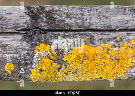 Grey and yellow lichen growing on a well weathered split piece of fencing - Stock Image