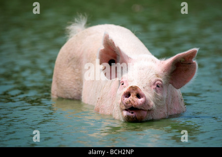 A large hog sticks out his tongue while cooling off in a pond on a hot summer day. - Stock Image
