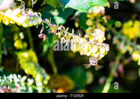 Yellow Mahonia flowers with an early spring honey bee Apis mellifera feeding with wings blurred from movement - Stock Image