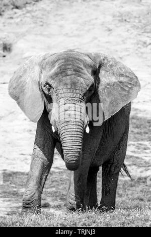 Black and white animal photography: close-up, front view of an isolated African elephant, outdoors in the sunshine. - Stock Image