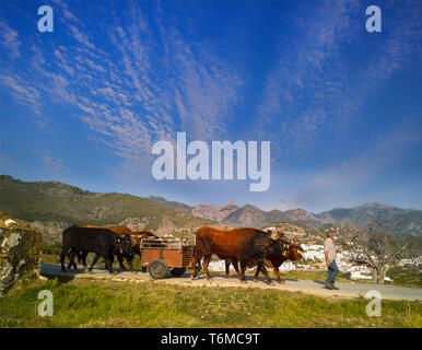 A traditional team of Oxen in the campo (or countryside) above Frigiliana, in the Costa del Sol, Malaga Province, Andalucia, Spain - Stock Image