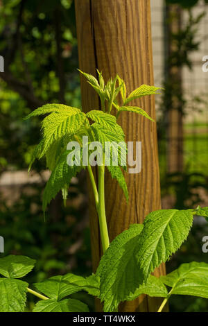 New spring growth on a raspberry plant growing in a vegetable garden in north east Italy - Stock Image