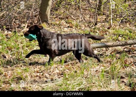 Brown Labrador Retriever carrying a dummy - Stock Image