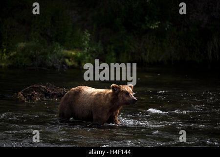 Brown Bear walking across river stream Brooks river, Katmai National Park, Alaska - Stock Image