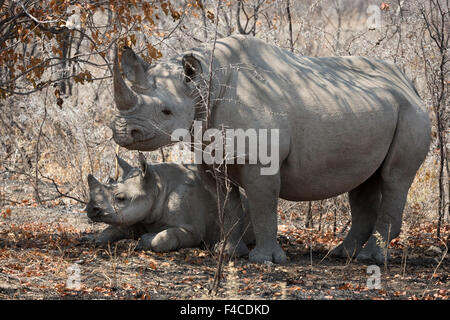 Namibia, Etosha National Park. Mother rhinoceros and baby in shade. Credit as: Wendy Kaveney / Jaynes Gallery / - Stock Image