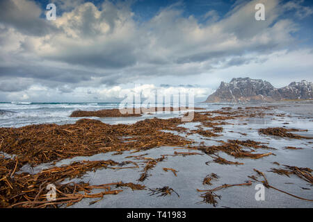 Seaweed on the beach after a storm, Lofoten, Nordland, Norway - Stock Image