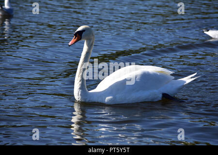 Majestic swan on a pond - Stock Image
