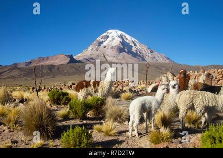 Alpaca at Sajama (Bolivia) - Stock Image