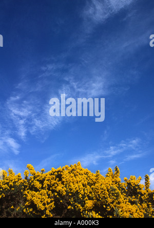 Yellow Gorse against Blue Sky - Stock Image