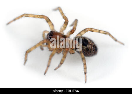 Female Amaurobius fenestralis spider on white background. Family Amaurobiidae, Window spiders or Hackledmesh weavers. - Stock Image