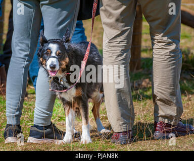 Longshaw Sheep Dog Trials, Peak District, Derbyshire, UK. The Longshaw Sheep Dog Trials are the oldest continuous run sheep dog trials in the country - Stock Image