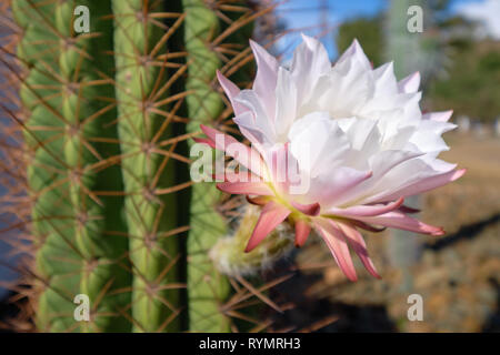 White and pink cactus flower in bloom, with blurry background of large cacti trunk - Stock Image