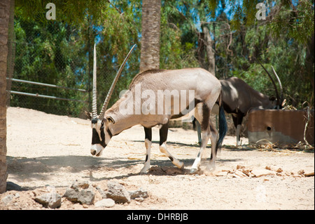 Antelopes grazing - Stock Image