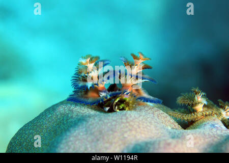 Multi-colored Christmas Tree Worm (Spirobranchus giganteus) on a Coral. Flores, Indonesia - Stock Image