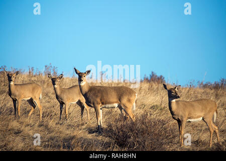 White-tailed Deer herd (Odocoileus virginianus) - Stock Image