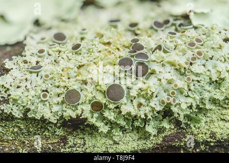 Lichen (Physcia), a small, foliose lichen, growing on a tree branch. - Stock Image