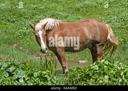 Haflinger Horse On A Almwiesei In Upper Bavaria - Stock Image