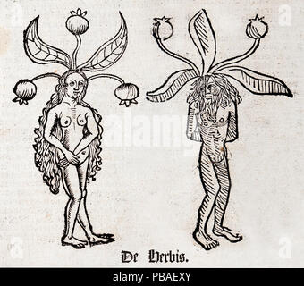 Woodblock illustration of Mandrake (Mandragora) from two pages of the Ortus (Hortus) sanitatis - translated from the Latin as 'Garden of Health' by Jacob Meydenbach, 1491. He describes plants and animals (both real and mythical) together with minerals and medicine.  The mandrake has a wrinkled forked root which is supposed to looks like a human body. - Stock Image