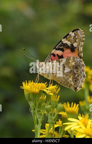 Painted lady butterfly (Cynthia cardui) on ragwort flowers (Senecio jacobea). Essex, England. July. - Stock Image