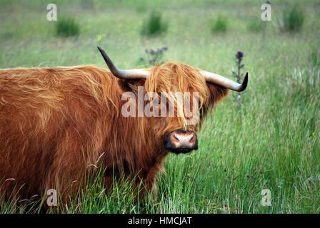 Scottish Highland Cow - Stock Image