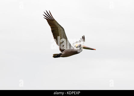 Pelican diving flying is a beautiful feathered pacific coast pelican diving towards the ocean water. - Stock Image