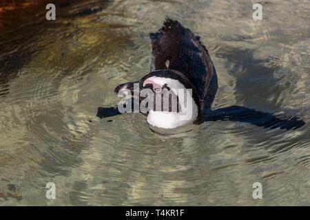 African penguin, Spheniscus demersus, swimming in atlantic ocean, at Simonstown, South Africa - Stock Image