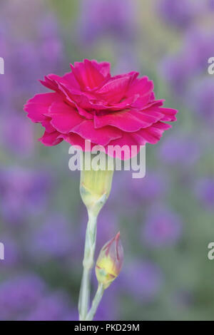 Pink carnation flower with beautiful dappled backdrop of lavendar heads - Stock Image