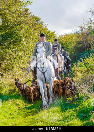 Cranwell Bloodhounds - Hound Exercise and Summer Ride with The Master leading the bloodhound pack - Stock Image
